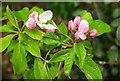 SX9065 : Raindrops on apple flowers, Torre by Derek Harper