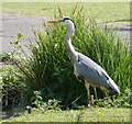 SK5502 : Grey Heron at the Ecology Lake in Braunstone Park by Mat Fascione