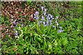 ST8180 : Bluebells, Littleton Drew Lane, Acton Turville, Gloucestershire 2020 by Ray Bird