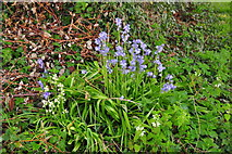 ST8180 : Bluebells, Littleton Drew Lane, Acton Turville, Gloucestershire 2020 by Ray Bird