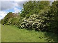 SX9290 : Spring colour on bushes, Trews Weir Allotment Plantation, Exeter by David Smith