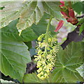 NT2570 : Sycamore inflorescence by M J Richardson