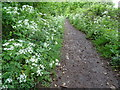 SO7843 : Cow parsley on an old railway by Philip Halling