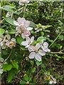 TF0820 : Wayside apple blossom by Bob Harvey