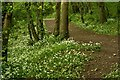 SS5031 : Wild garlic in Cleave Plantation by Roger A Smith