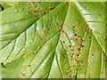 NT2469 : Mite galls on Sycamore leaf by M J Richardson