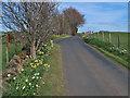 NS6747 : Roadside daffodils near Chapelton by wrobison