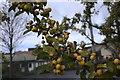 SJ2027 : Crab apples by Bob Harvey