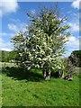 SO7742 : Hawthorn bush by Philip Halling