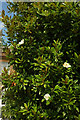 ST3505 : Magnolia, Forde Abbey by Derek Harper