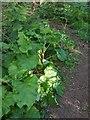 TF0820 : Burdock clump by Bob Harvey