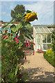 ST3505 : Sunflower, Forde Abbey by Derek Harper