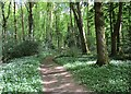 NS6959 : Wild garlic (ramsons) by the Clyde Walkway by Alan O'Dowd
