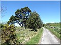 NY9550 : Pine trees beside the road above Baybridge by Oliver Dixon