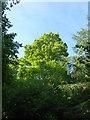 TF0820 : Isolated Oak by Bob Harvey