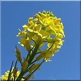 SK6636 : Mustard flower by Alan Murray-Rust