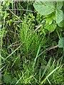 TF0820 : Equisetum arvense by Bob Harvey