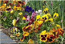 SK6835 : A plethora of pansies by Alan Murray-Rust