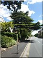 SX9193 : Cedar tree, New North Road, Exeter by David Smith