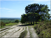 TQ4528 : Tree clump by track, Ashdown Forest by Robin Webster