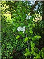 TF0820 : Hawthorn in hedgerow - 1 by Bob Harvey