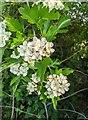 TF0820 : Hawthorn in hedgerow - 3 by Bob Harvey