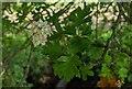 TF0820 : Hawthorn in hedgerow - 6 by Bob Harvey