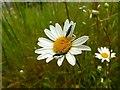SK6141 : Carlton Cemetery Flowers – Ox-eye Daisy (Leucanthemum vulgare) with beetles by Alan Murray-Rust