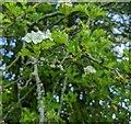 TF0820 : Hawthorn in hedgerow - 8 by Bob Harvey