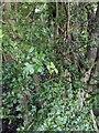 TF0820 : Hawthorn in hedgerow - 10 by Bob Harvey