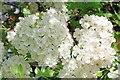 TM1831 : Hawthorn Blossom by Glyn Baker