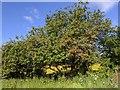 TF0820 : Hawthorn Tree by Bob Harvey