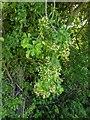 TF0820 : Hawthorn in hedgerow - 18 by Bob Harvey