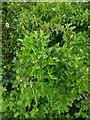 TF0820 : Hawthorn in hedgerow - 19 by Bob Harvey