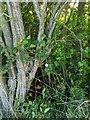 TF0820 : Hedge Bottom by Bob Harvey