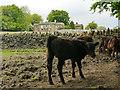 SE2132 : Calves at Woodlands Farm by Stephen Craven
