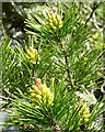 NJ3457 : Lodgepole Pine (Pinus contorta) by Anne Burgess