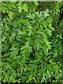 TF0820 : Hawthorn in hedgerow - 22 by Bob Harvey