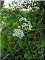 TF0820 : Hawthorn in hedgerow - 24 by Bob Harvey