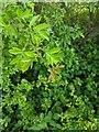 TF0820 : Hawthorn in hedgerow - 27 by Bob Harvey