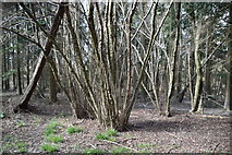 TQ6042 : Coppiced trees by N Chadwick