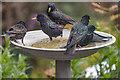 TQ2995 : Starlings Bathing by Christine Matthews