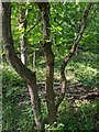 TF0820 : A three-fold oak by Bob Harvey