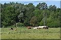 SU7670 : Cattle grazing near Sindlesham Mill by Simon Mortimer