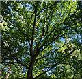 TF0820 : Oak canopy by Bob Harvey