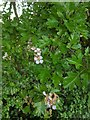 TF0820 : Hawthorn in hedgerow - 30 by Bob Harvey