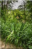TQ2152 : Stinking Iris (Iris foetidissima)  by Ian Capper