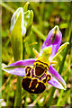 TQ2252 : Bee Orchid (Ophrys apifera) by Ian Capper