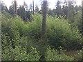 SU3823 : A coniferous plantation in Ampfield wood by tsuga heterophylla