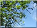 NT2570 : Ash dieback, Edinburgh by M J Richardson